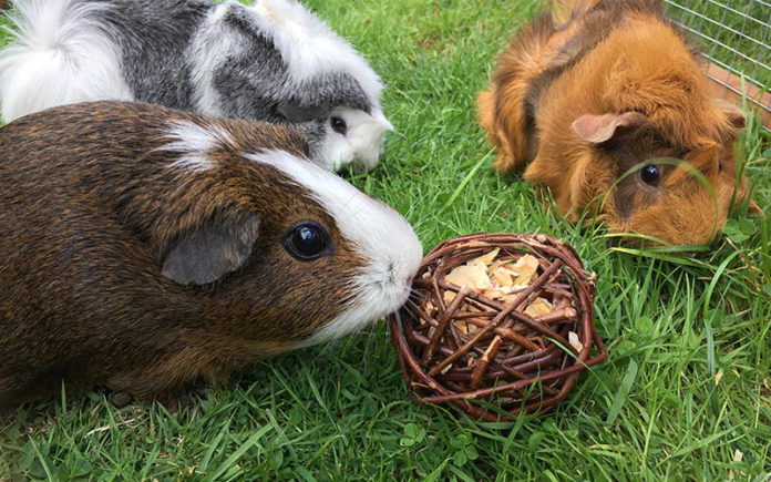 Guinea Pig Toys : The best guinea pig toys reviewed by our own pigs