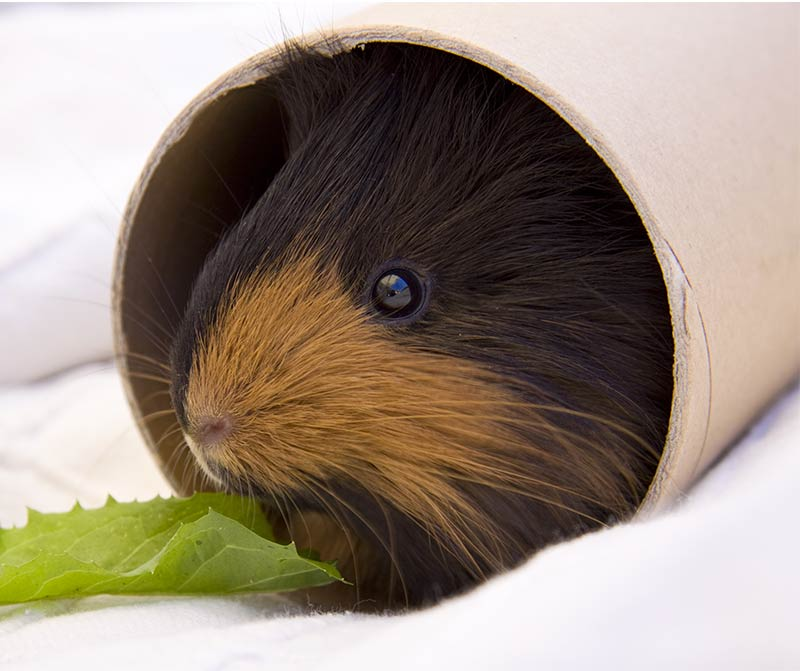 DIY Guinea Pig Toys - guinea pig toys you can make at home