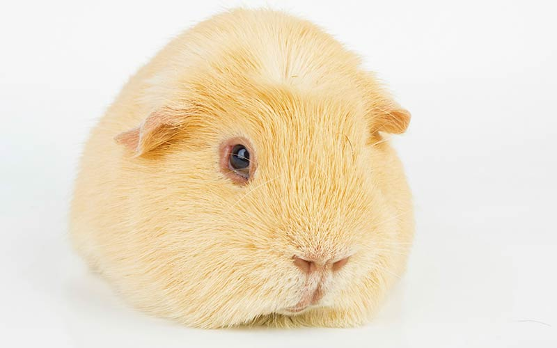 A Complete Guide To Guinea Pig Colors With Photos