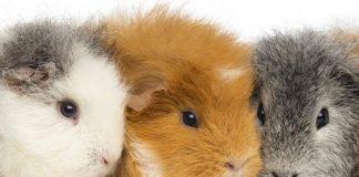 guinea pig colors