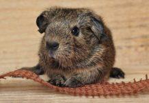 DIY Guinea Pig Toys - guinea pig toys you can make at home