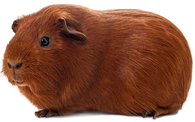 Chocolate Brown Guinea Pig