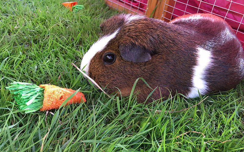 Best Guinea Pigs Toys