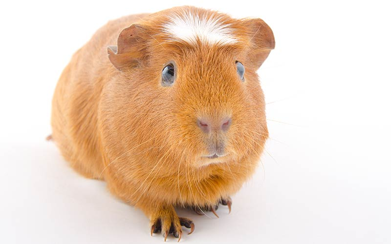 A Complete Guide To Guinea Pig Colors - With Photos!