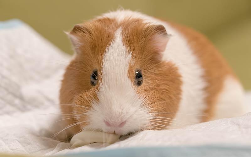 how to draw a guinea pig face