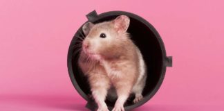 hamster breeds