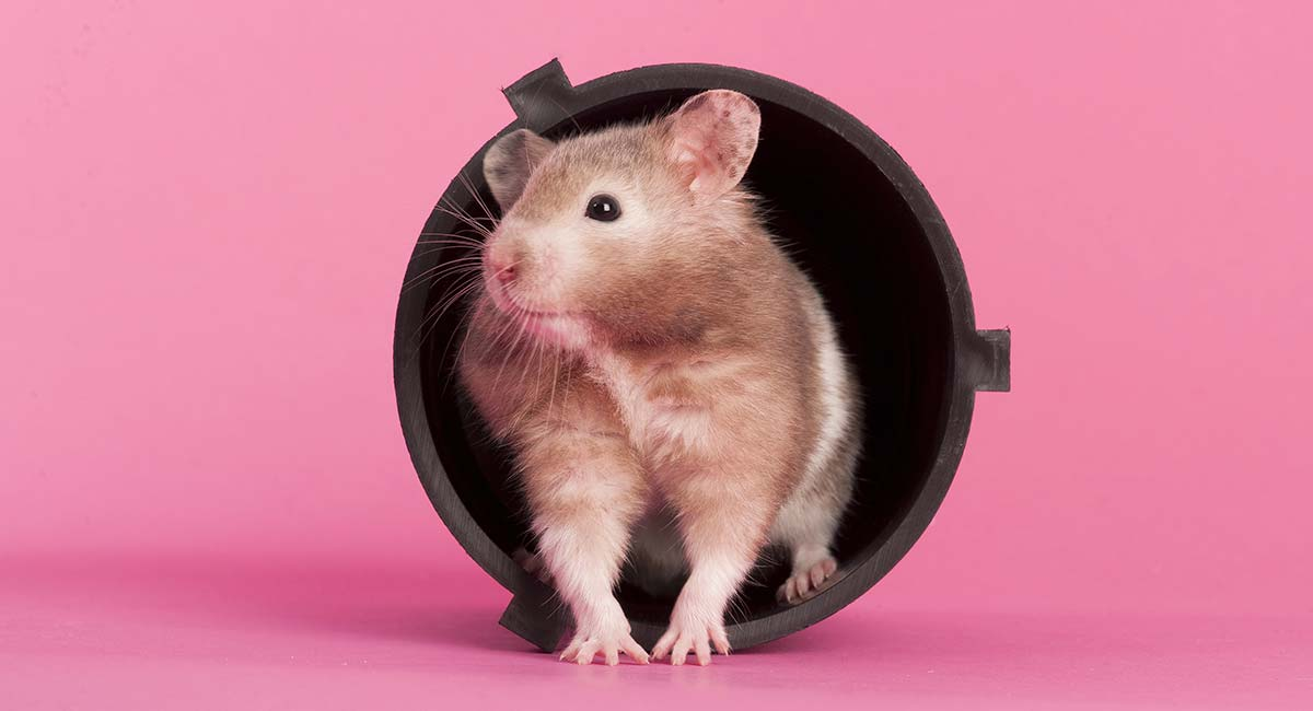 Hamster Breeds - Differences, Similarities, and Choosing the Best One