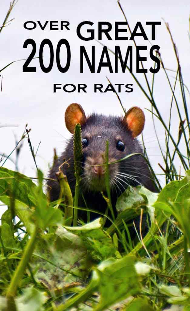 Ideas and inspiration for naming your pet rat. Over 200 rat names to choose from.
