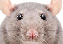rat names