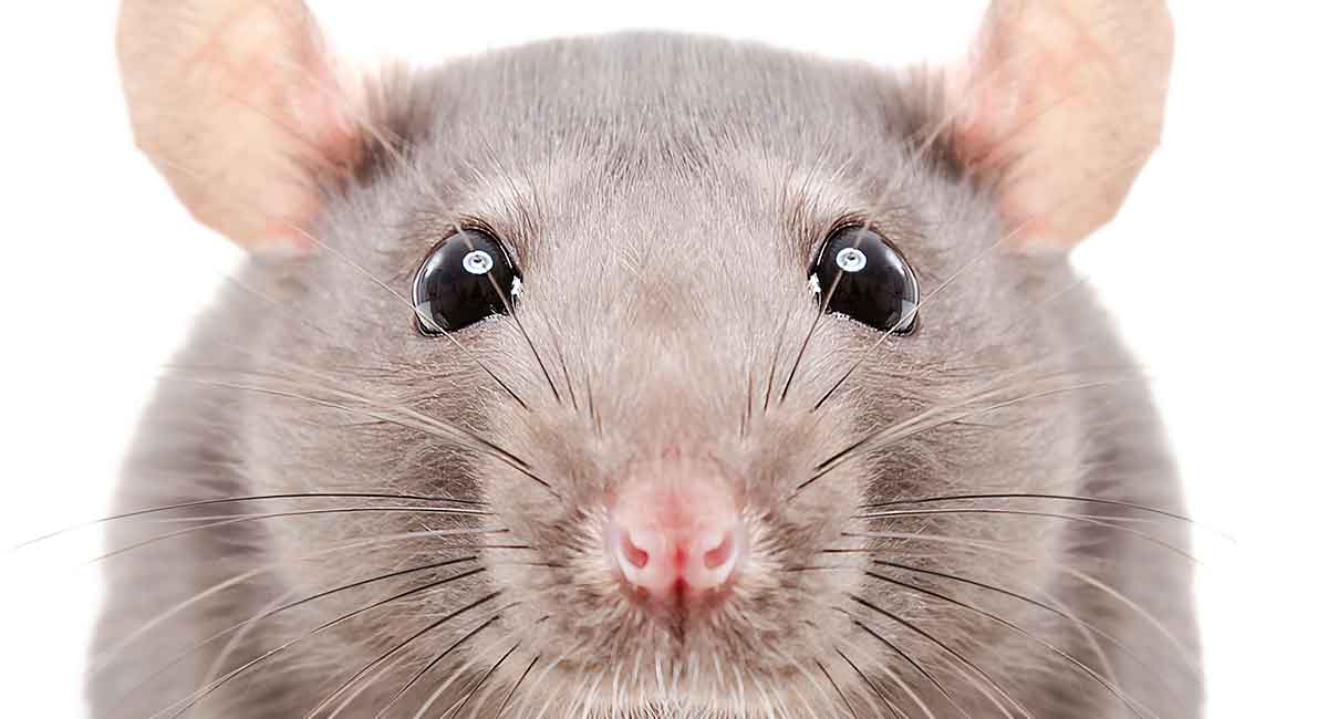 Rat Names Over 200 Great Ideas For Naming Your Pet Rat