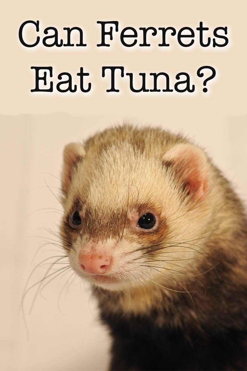 Can ferrets eat tuna fish safely as part of their diet or for What do tuna fish eat