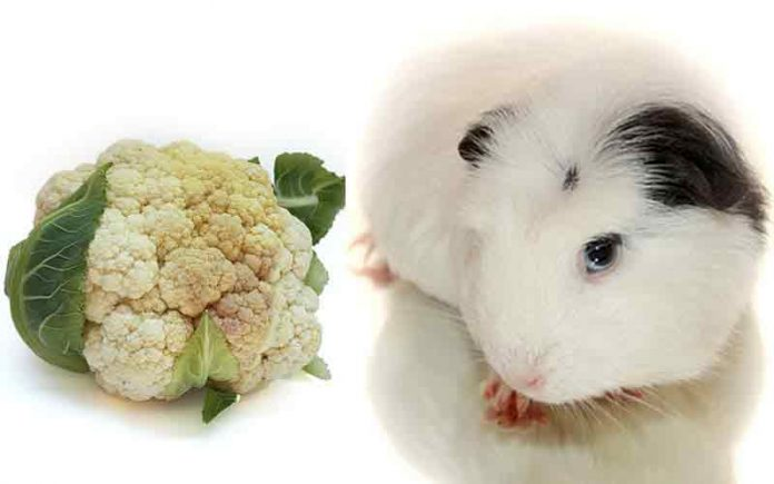 Can Guinea Pigs Eat Cauliflower?
