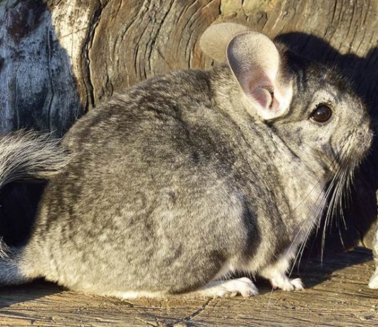 Can Chinchillas Get Fleas?