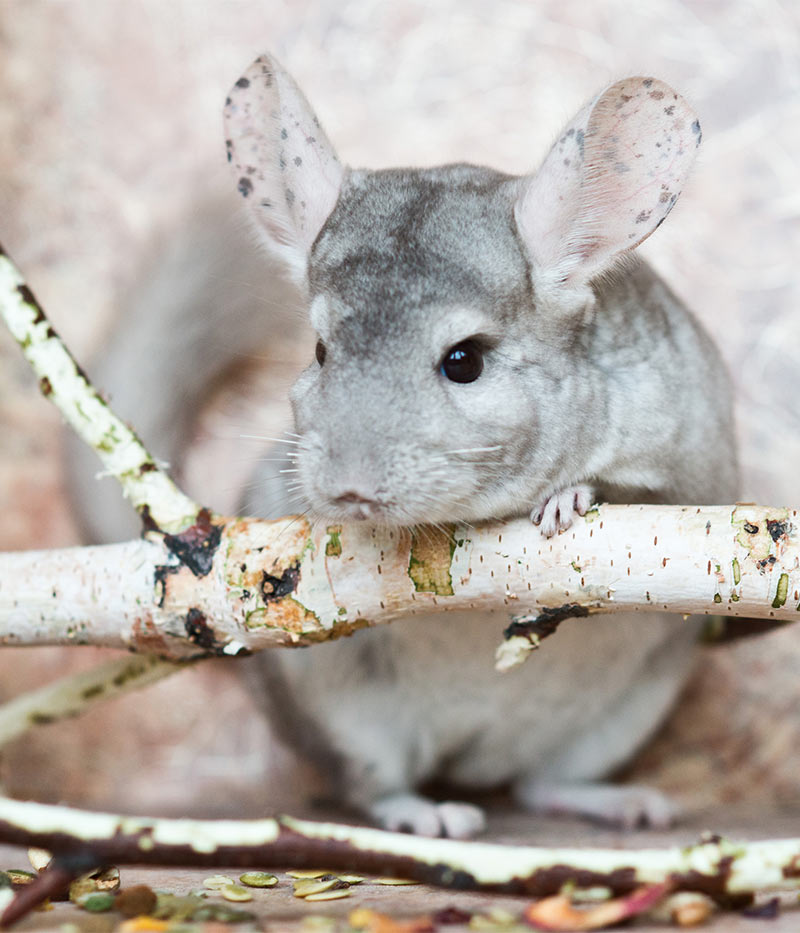 Can Chinchillas Live Alone?