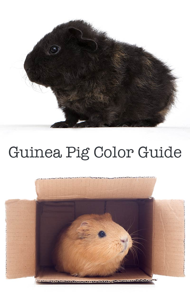 Guinea pig colors - a guide