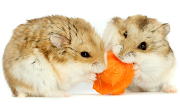Dwarf hamster care guide