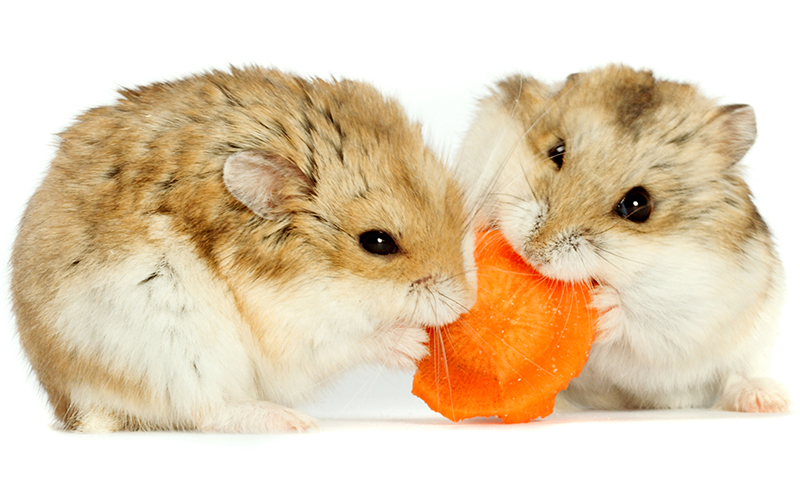 A Complete Dwarf Hamster Care Guide, From Feeding To Housing