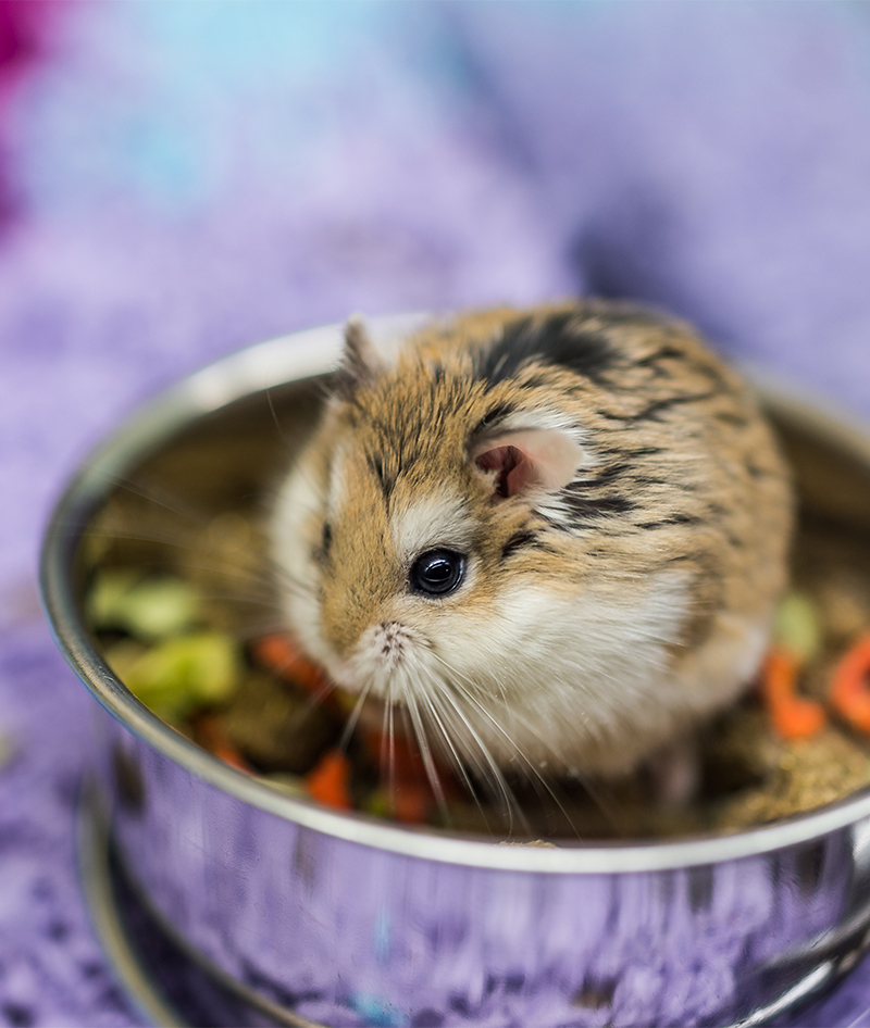 dwarf hamster care guide