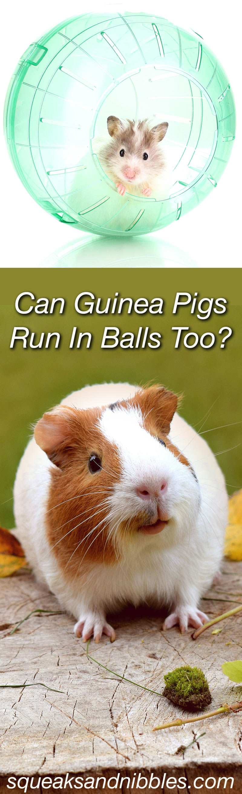 Can Guinea Pigs Run In Balls?