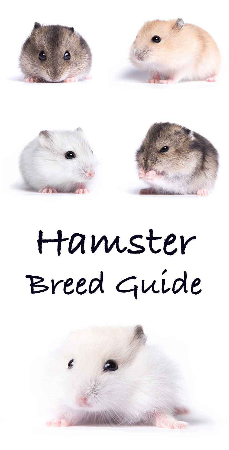 Hamster Breeds - Differences, Similarities, and Choosing the