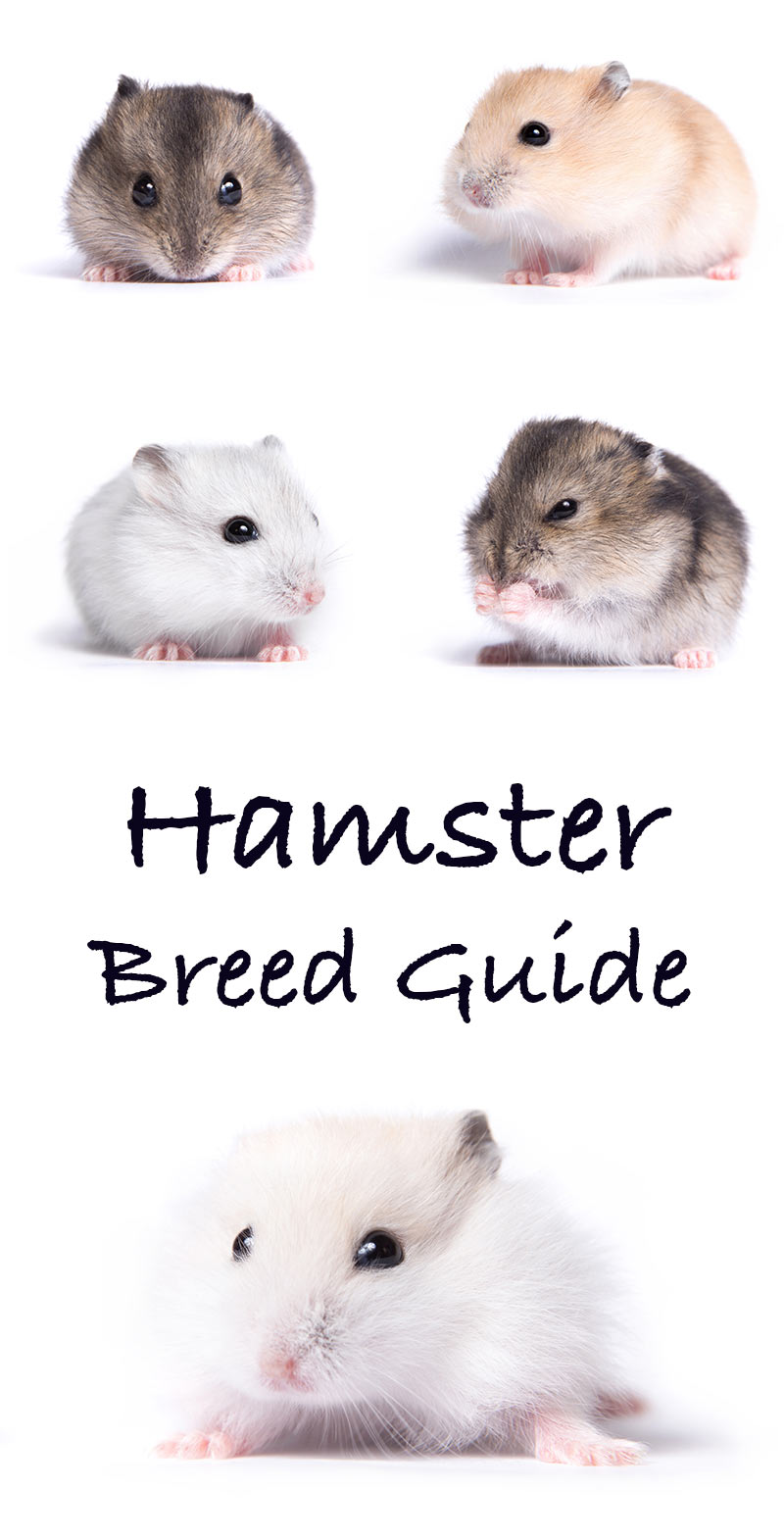 Hamster Breeds - A Complete Guide