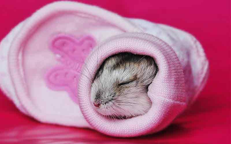 Hamster Sleep Guide - How Long Do Hamsters Sleep For?