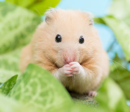 can hamsters eat mealworms?