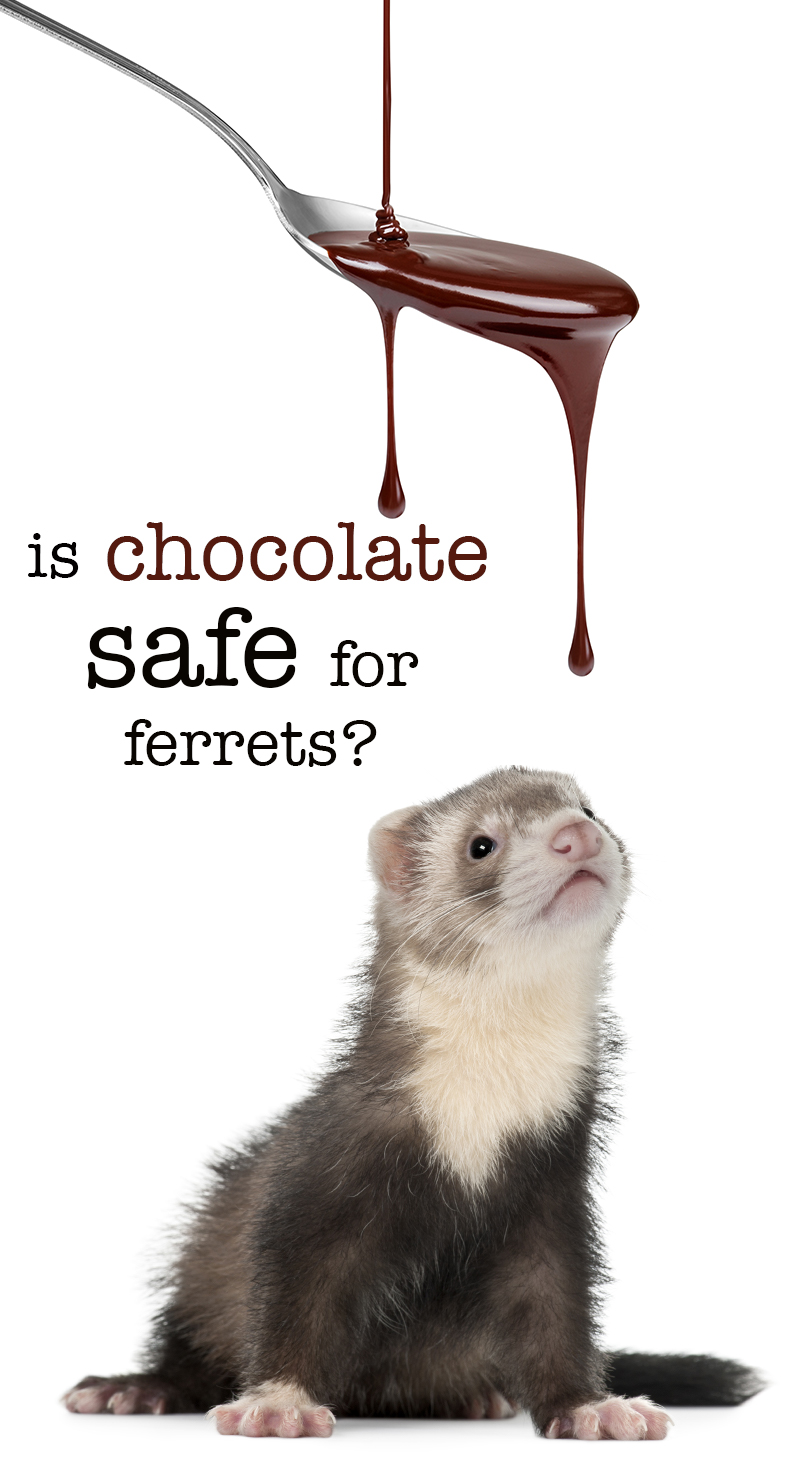 Can ferrets eat chocolate? Is chocolate safe for ferrets?