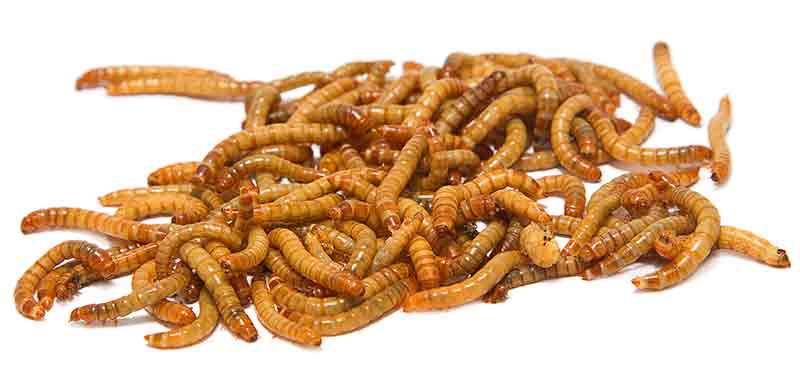 meal worms for hamsters
