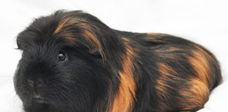 Guinea Pig Allergies - Am I allergic to my guinea pig