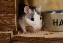 Rat Cage Size Guide - how big should my rat cage be?