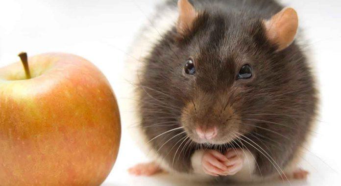 Over 200 rat names