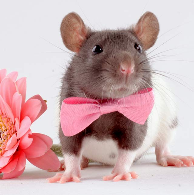 Cute rat names - hundreds of ideas