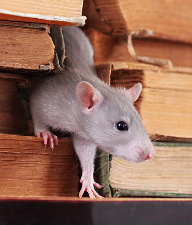grey fancy rat
