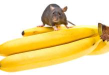 Can Rats Eat Bananas?