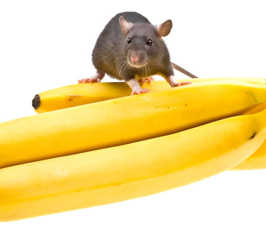 Can Rats Eat Bananas?