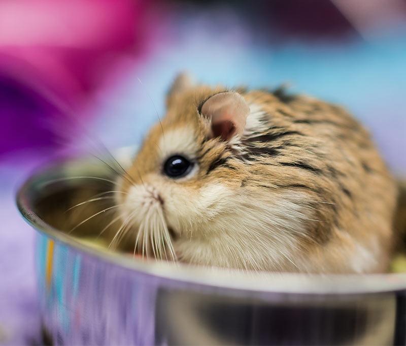 The Roborovski Hamster Breed