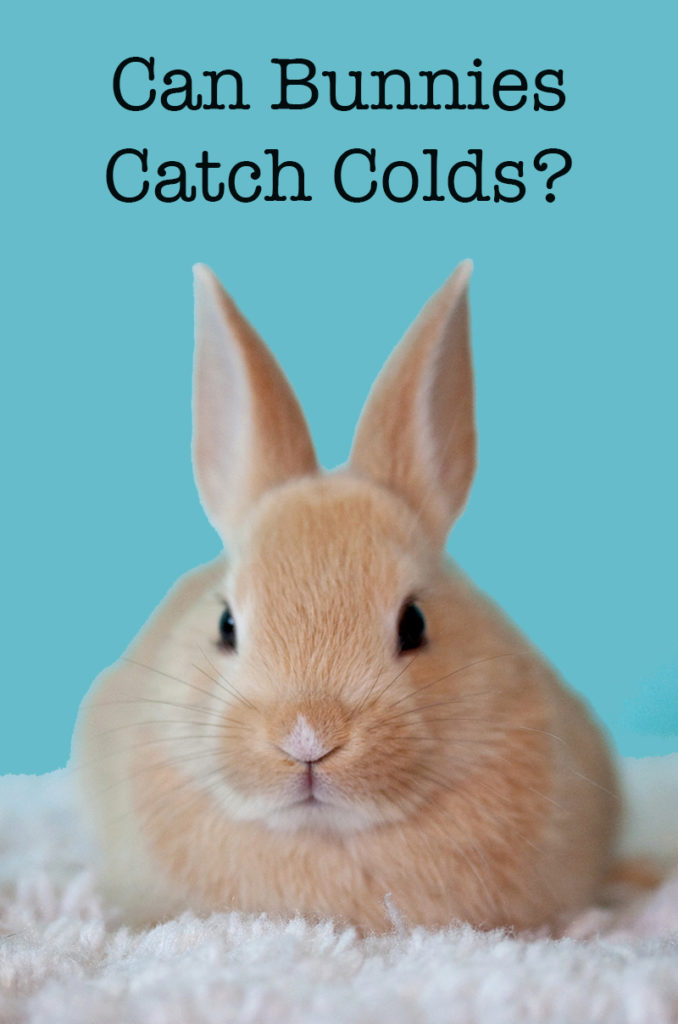 Can Rabbits Get Colds?