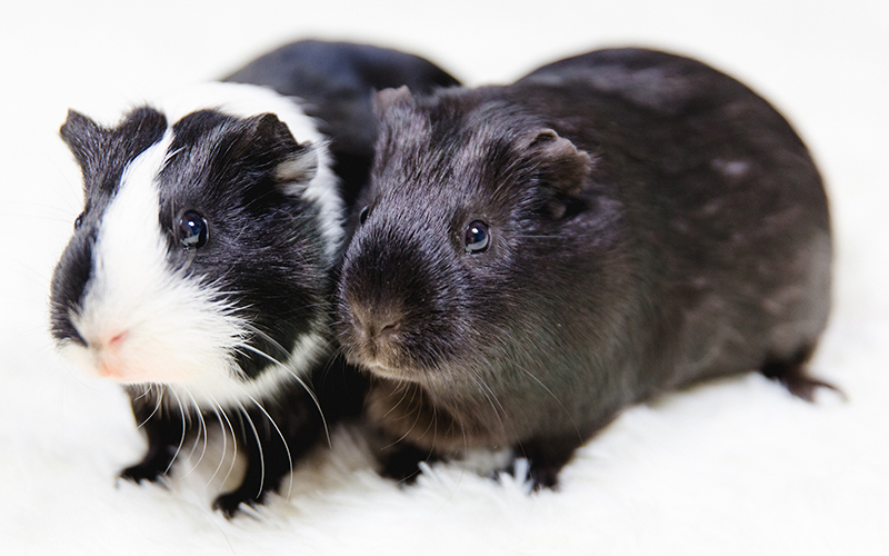 Finest Black And White Guinea Pig Names - 250 Awesome Ideas For Naming  CA18
