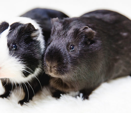 Black and white guinea pig names