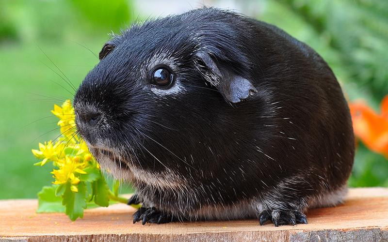 Black and white guinea pig names