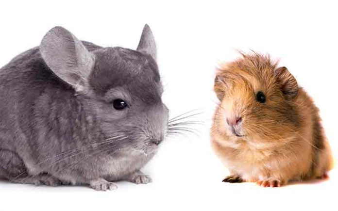 chinchilla vs guinea pig