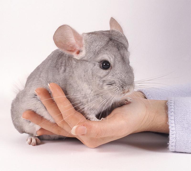 chinchilla vs guinea pig