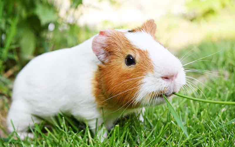 can guinea pigs eat fresh grass
