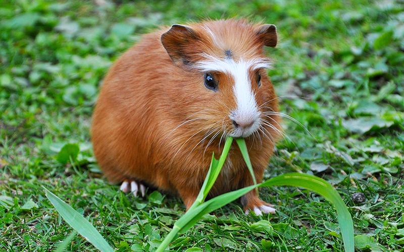 Do guinea pigs like eating grass?