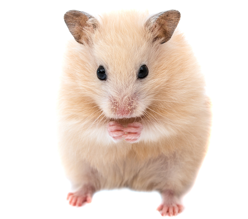 Great male Syrian hamster names