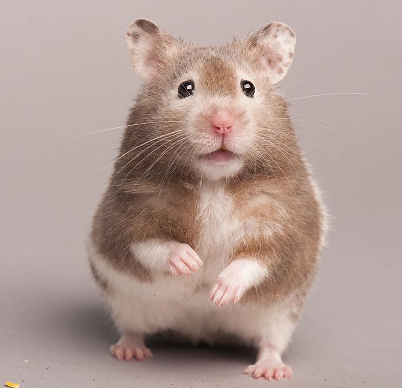 good male hamster names