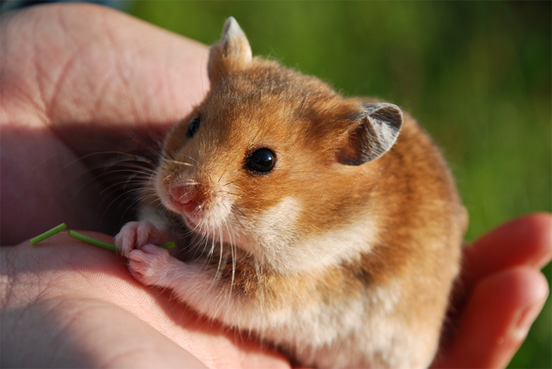 50 awesome hamster facts for kids