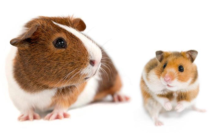 Hamster vs Guinea Pig