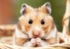 boy hamster names